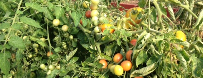 Just-picked tomatoes at SHARE's Farm Store!